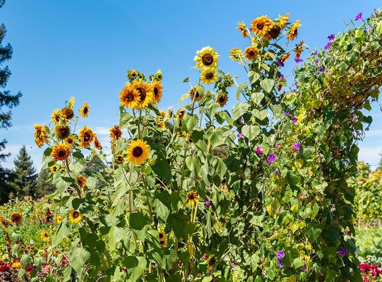 Backyard Garden at Healdsburg, A Pacifica Senior Living Community, Healdsburg, CA, 95448