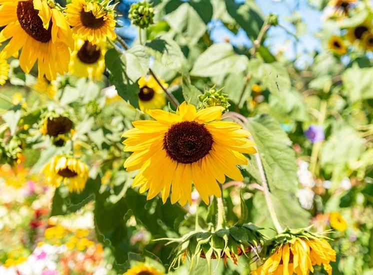 Sunflower at Healdsburg, A Pacifica Senior Living Community, Healdsburg, CA