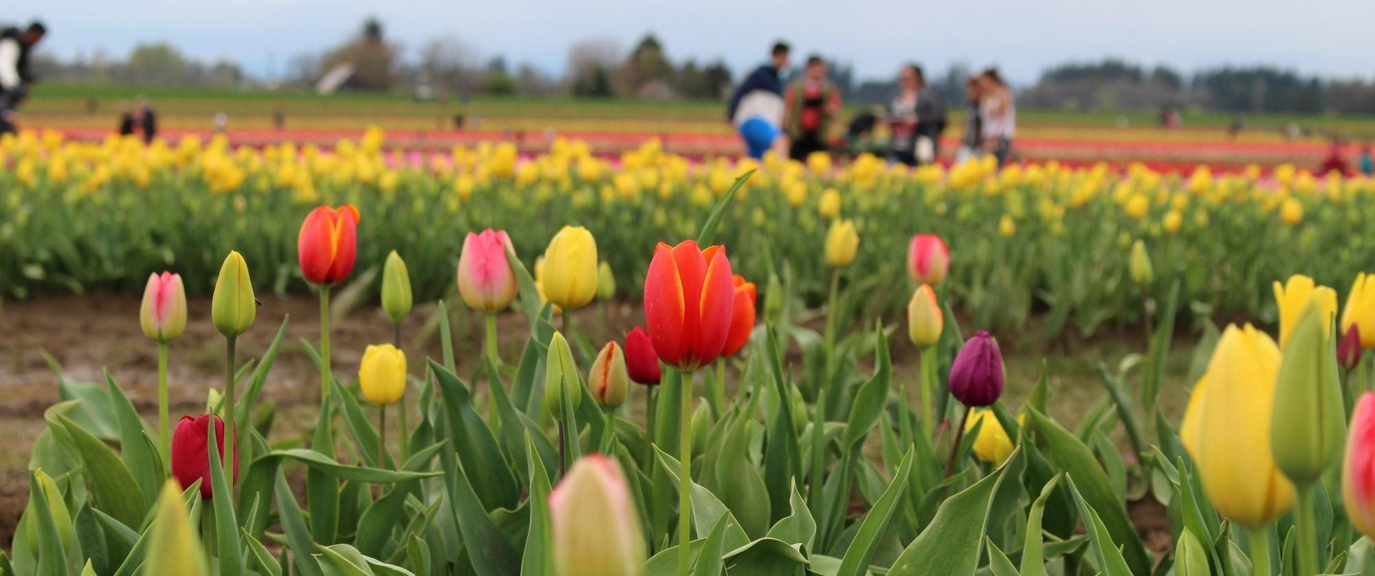 Field of Tulips and Flowers