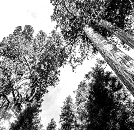 Mature Trees at The Sur, Arlington