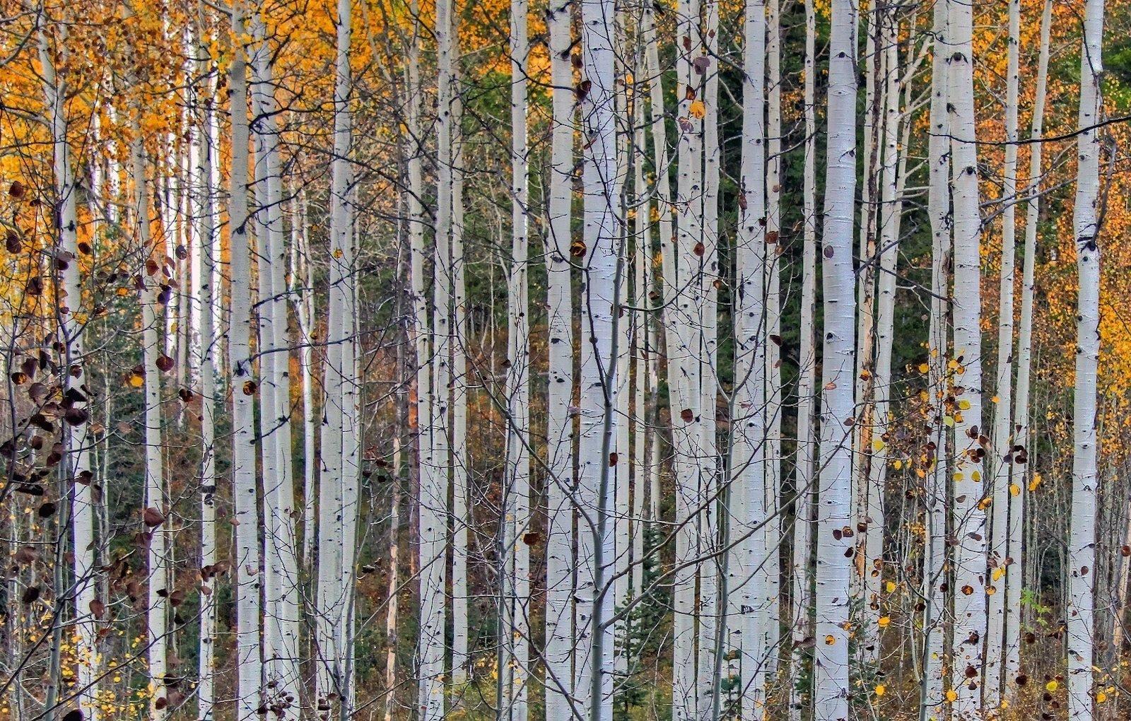 Lumpkin Park Apartments Columbus Muscogee Georgia 31903 aspen trees
