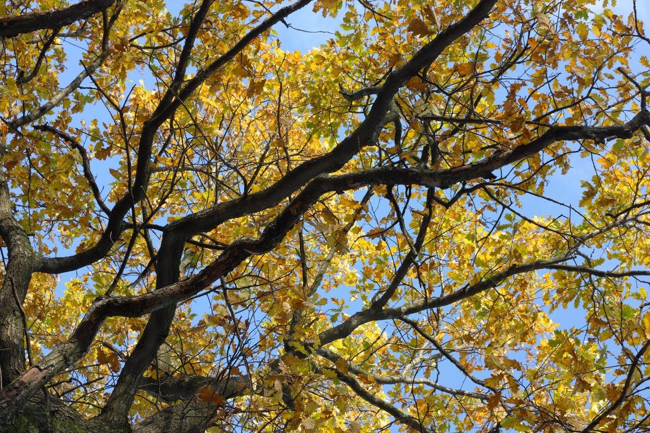 Woodland Oaks Trees