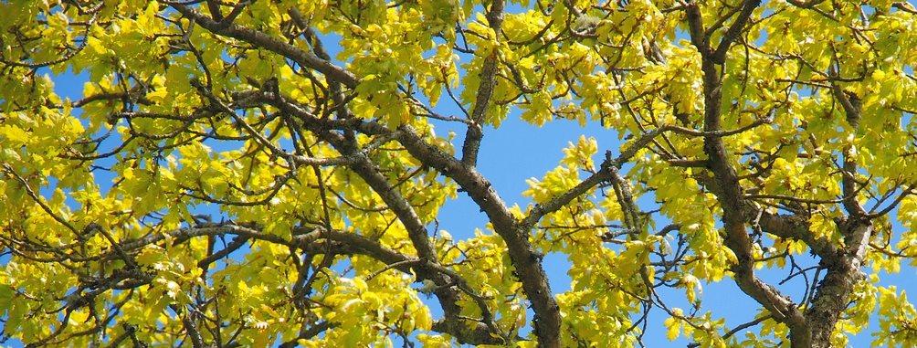 Woodland Oaks Tree